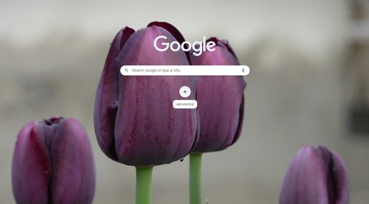 Black_tulip1